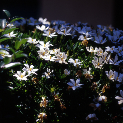 Gardenia_w