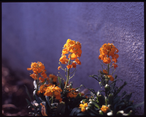 Wallflower_w2